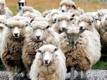 wolf-sheep
