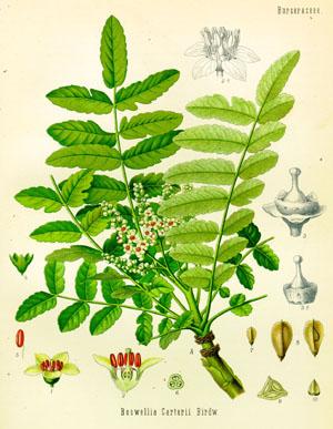Boswellia-3