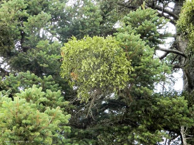 Ιξός μελάς σε έλατο 2-Mistletoe