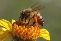 honeybee_020505_026b genehanson (1)