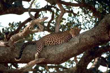 leopardali-babouinos