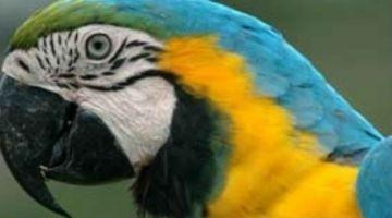 papagalos_575745018