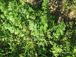 Urtica dioica-Plants up