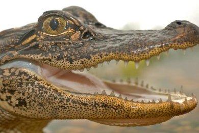 krokodeiloi-drapetes-95042