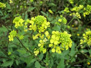 Sinapis alba-Flower