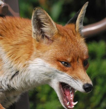 FOX in attack1