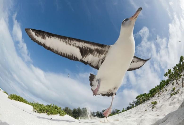 potd-albatross_2463909k