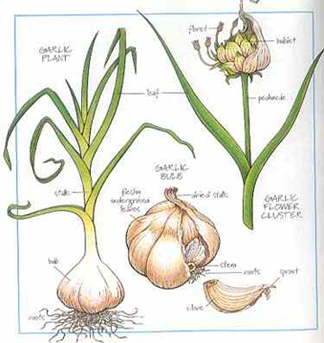Hashmi-Hebal-Garlic-Capsule