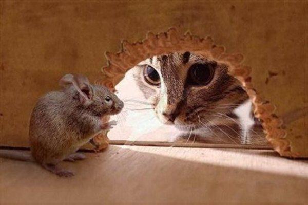 H μύτη του ποντικού σημαίνει συναγερμό στη μυρωδιά της γάτας